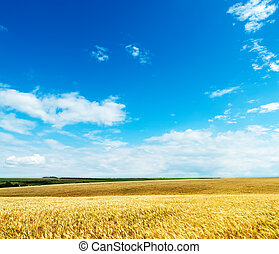 gold ears of wheat under cloudy sky