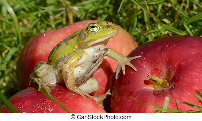 green frog on red apples in garden after rain