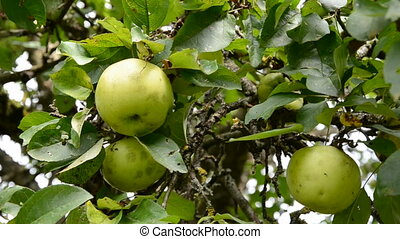 picking fresh fruit from apple tree  branch