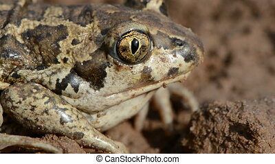 animal frog Pelobates fuscus eye and head