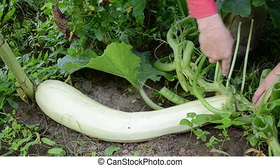 cut off fresh big zucchini in farm