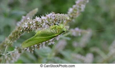 green grasshopper on mint blossom