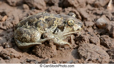 animal frog Pelobates fuscus on ground after rain