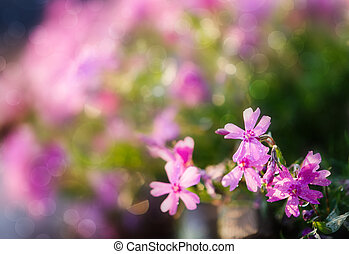 Violet flowers in a dew - Small violet flowers in a dew with...