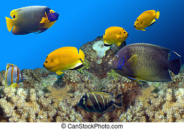 AngelsAndIdols - Regal Spotted Angelfish (Pomacanthus...