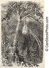 Quetzal nest - Antique illustration of Quetzal in the nest....