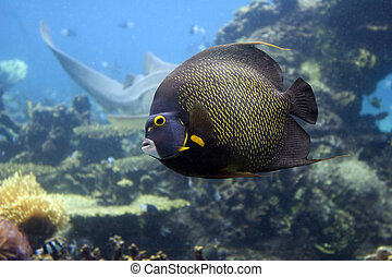 Angelfish - Brown Yellow Spotted Angelfish swimming over...