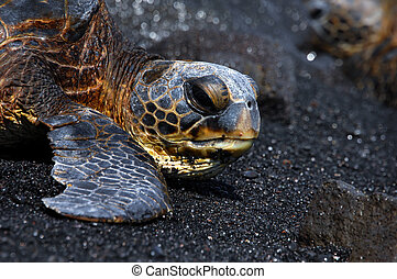 Big Island Turtle - Unaluu Black Sand Beach is the resting...