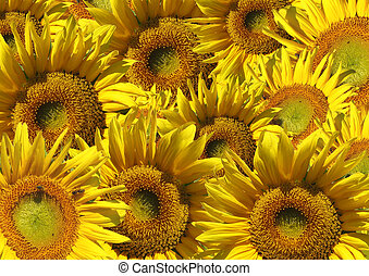 Beautiful sunflowers - Background - decorative collage from...