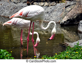 Flamingos often stand on one leg, the other tucked beneath...