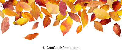 Panoramic Autumn Leaves - Falling autumn leaves isolated on...