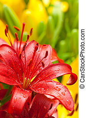 ed lilly flower - closeup of red lilly flower with water...
