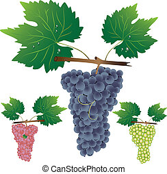 Three cluster of grapes. Vector illustrator.