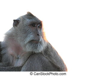 Long-tailed Macaque staring into the horizon - A Long-tailed...