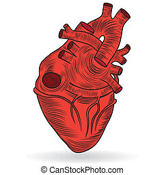 Vector button or icon of a human heart - Heart human body...