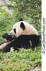 giant baby panda eating bamboo chengdu china
