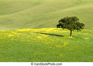Lonley tree in field, Val d'Orcia, Tuscany, Italy