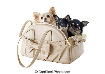 travel bag and chihuahuas - travel bag with chihuahuas in...