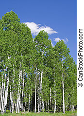 Aspen Grove - grove of aspen trees in the spring with blue...