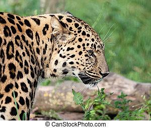 Side Head Shot of Amur Leopard