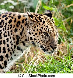 Portrait of Adult Amur Leopard