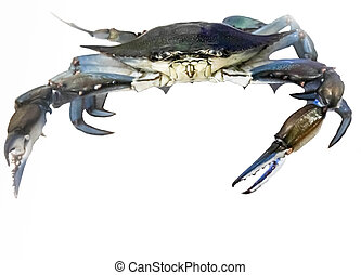 Blue crab scuttles across white background