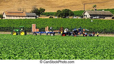 farm workers in lettuce field in Salinas Valley,salad bowl...