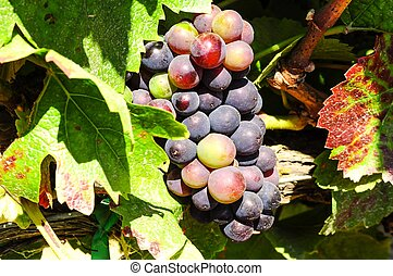 Pinot Noir grapes in Salinas Valley - Pinot Noir grapes...