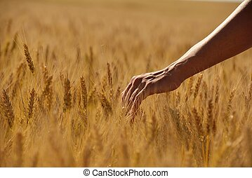 hand in wheat field - Hand in wheat field. Harvest and gold...