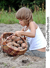 child reaping potatoes in the field - elementary age child...