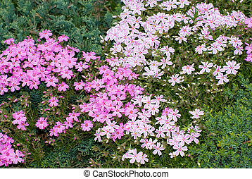 Creeping Phlox - Pink and white variegated creeping phlox...