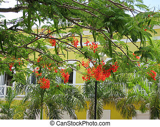 A mimosa tree in full bloom - This is a very large mimosa...