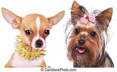 chiwawa and a yorkshire terrier puppy dogs - two cute little...