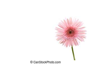 pink gerbera - beautiful pink gerbera isolated on white...