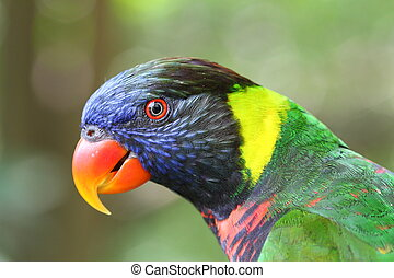 Rainbow Lory side profile - Rainbow Lory or Lorikeet...