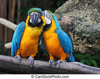 Whispering macaw - A Blue-and-Yellow Macaw (Ara ararauna),...