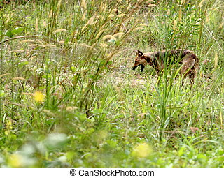 Yawning dog in grassland