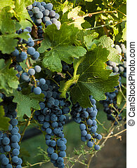 Vineyard - Red grapes ready to be harvested at a vineyard in...