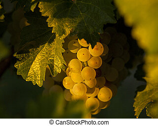 Vineyard - White grapes ready to be harvested at a vineyard...