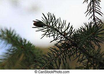 fir-needle