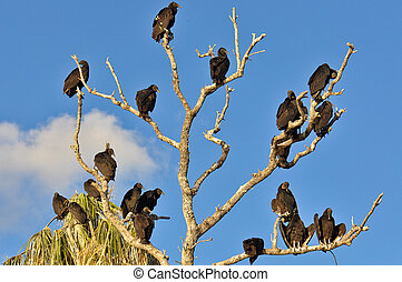 Tree of Vultures - Tree with many black vultures sitting on...