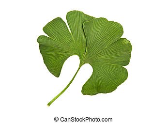Ginkgo isolated on the white background