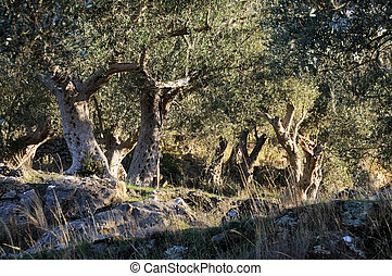 Olive trees from Mediterranean - Old olive plantation