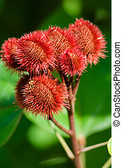 Annatto Tree Seed Pods - seed pods growing on an annatto...