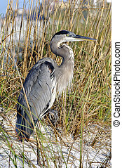 Grey Heron Standing in Front of Sea Oats - Grey heron...