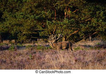 Red deer in the heath - Male red deer (Cervus elaphus) in...
