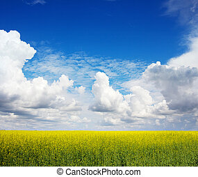 The field of rape flowers and the blue sky - The field of...