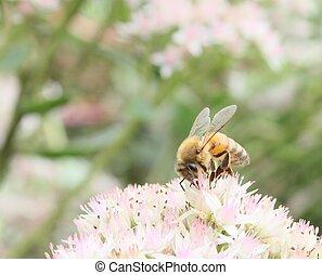 foraging honeybee - Honeybee feeding on flowers.