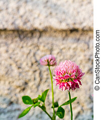 Red clover flowers on the background of blurred gray...