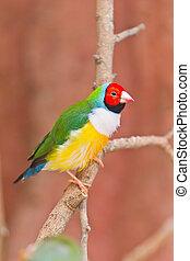 Beautiful Gouldian Finch